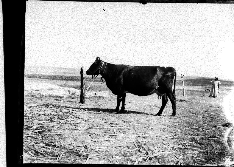 photo of Milk Cow