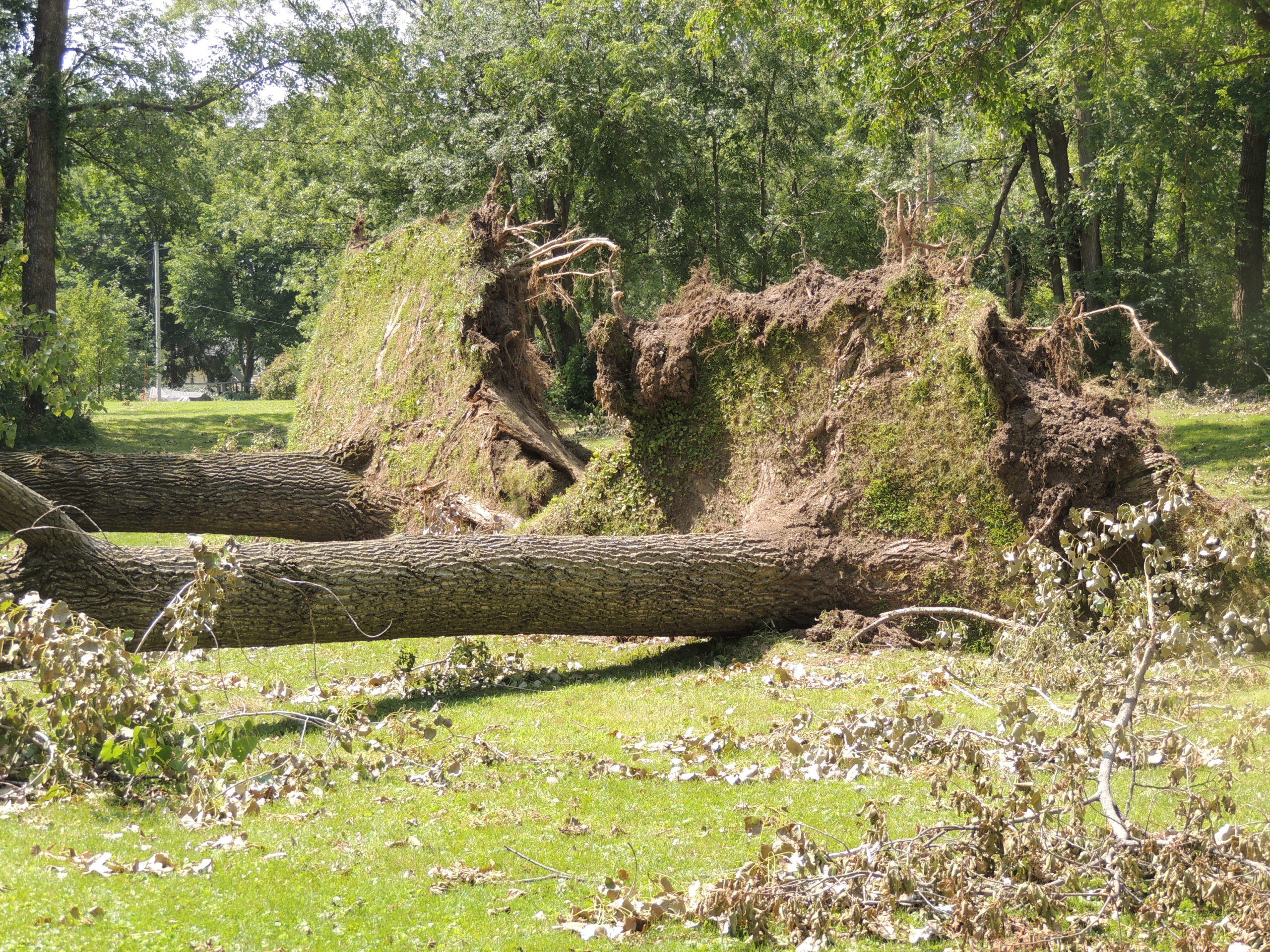 Photo of uprooted trees