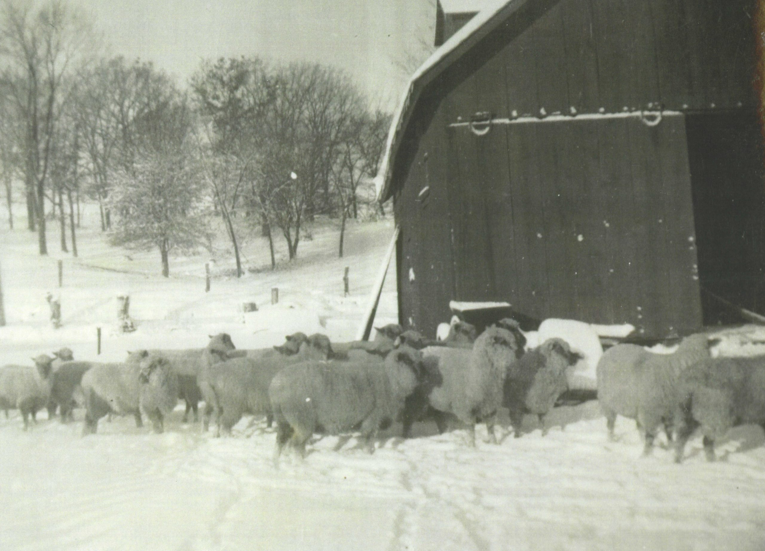 Photo of sheep in the winter