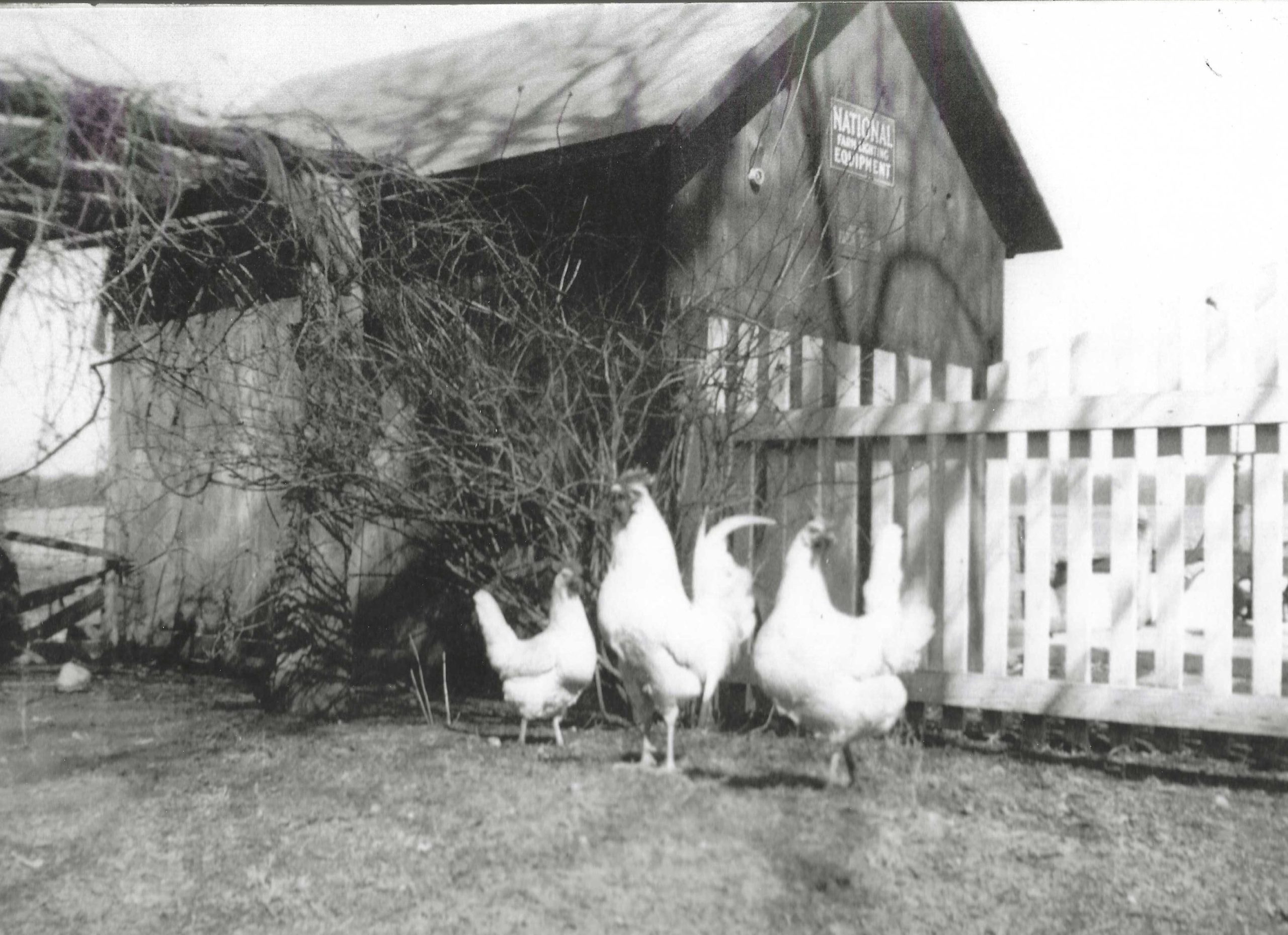 Photo of White Rock Chickens
